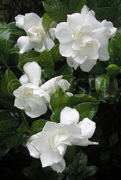 Pin De Flowers In Heart Em Gardenia Flowers Rosas