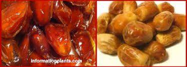 تمر الزهدي قسم التمور مع الصور قسم التمور انواع الاسماك مع الصور موقع المعلوماتية نبات حيوان Food Sausage Fruit