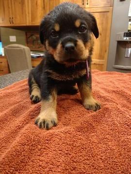 Rottweiler Puppy For Sale In Saint Charles Mi Adn 62621 On