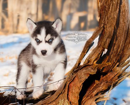 Border Collie Siberian Husky Mix Puppy For Sale In Taswell In Adn 62085 On Puppyfinder Com Gender Male Age 5 W Siberian Husky Mix Siberian Husky Husky Mix