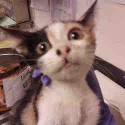 Austin Texas Domestic Shorthair Meet A For Adoption Https Www Adoptapet Com Pet 25913498 Austin Texas Cat Pet Adoption Cat Adoption Animals