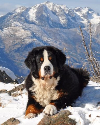 My love for Bernese Mountain Dogs
