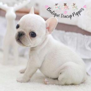 French Bulldog Full Grown Frenchbulldogfullgrown Teacup Mini