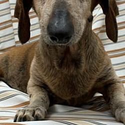 Available Pets At Dachshund Rescue South Florida In Weston Florida Dachshund Adoption Dachshund Rescue Dog Adoption