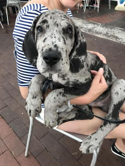"""Figure out more relevant information on """"great dane puppies"""". Check out our web site. Cute Baby Animals, Animals And Pets, Funny Animals, Dane Puppies, Cute Dogs And Puppies, Big Dogs, Doggies, Large Dogs, Great Dane Puppy"""