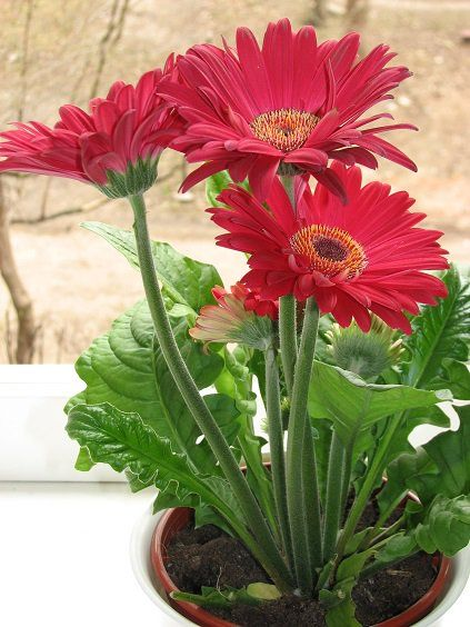 The 8 Best Low Light And Low Maintenance Office Plants Gerbera