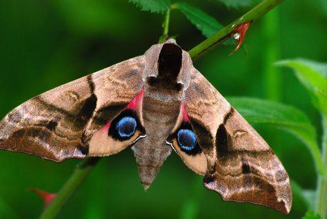 Eyed Hawk Moth Taubenschwanzchen Motte Schmetterling