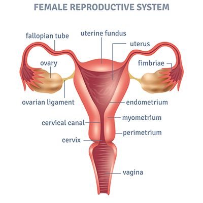 Pictures Of The Female Reproductive System