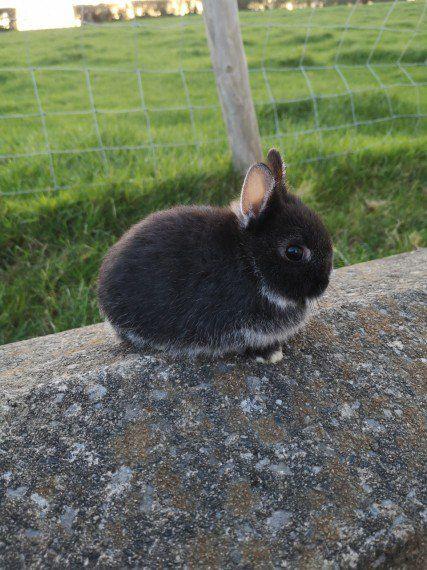 Netherland Dwarf Baby Rabbit For Sale Black Fox Colwyn Bay Conwy Pets4homes Dwarf Bunnies Netherland Dwarf Bunny Dwarf Baby