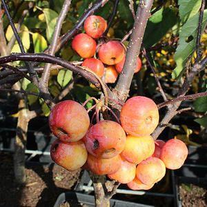 wirkt die Frucht des Milchorangenbaums Außerirdisch wie nicht von dieser Welt