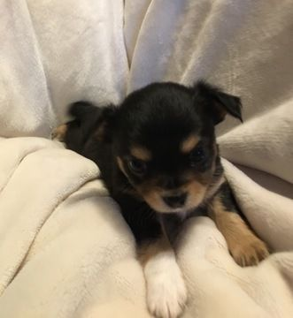 Litter Of 5 Chihuahua Puppies For Sale In Tacoma Wa Adn 70906