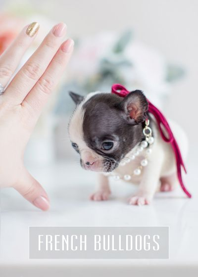 Teacup Puppies French Bulldog Puppy For Sale Cuteteacuppuppies Teacup Puppies French Bulldog Puppy For Sale Cuteteacuppuppies In 2020 Bulldog Puppies Teacup Puppies French Bulldog For Sale
