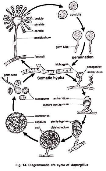 Diagrammatic Life Cycle Of Aspergillus Biology Plants Teaching Biology Medical School Essentials