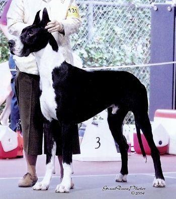 Ego Great Dane Stud Great Dane Dogs Dane Dog Stud Dog