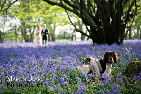 Bride Groom With Their Springer Spaniel In The Bluebell Woods At