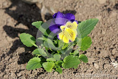 Bicolor Wild Pansy Or Viola Tricolor Or Johnny Jump Up Or Heartsease Or Hearts Ease Or Hearts Delight Or Tickle My Fancy Or J Pansies Wild Flowers Green Leaves