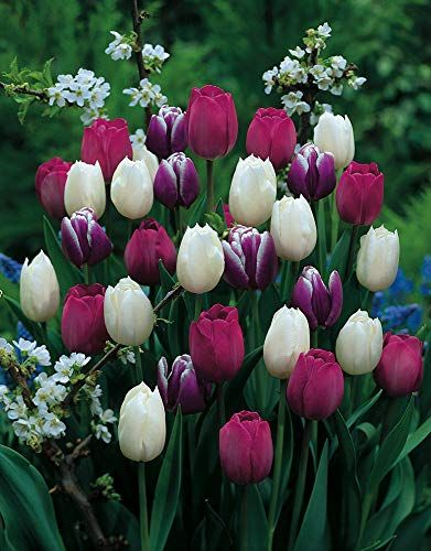 Purple Rain Mix Tulip 20 Bulbs Lush Violet Hues White Https Www Amazon Com Dp B00ca1k06q Ref Cm Sw R Pi Dp U X Ybpscbn Bulb Flowers Tulips Purple Rain