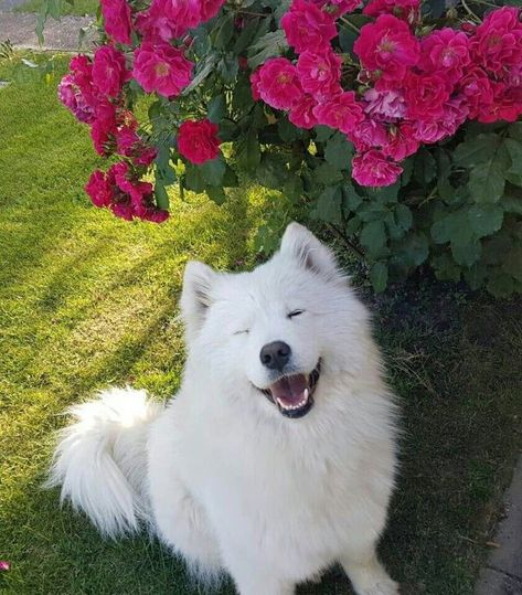 What's more beautiful than the flowers?? A smiling Samoyed dog :)  .....Do you love cute dogs like this, Follow our #Petsdope Pinterest Account to see other cute pet photos. ;) ..#samoyed #samoyedpuppy #samoyedclub #dogstagram #samoyedlife #samoyedpup #samoyedlovers .......DISCLAIMER!!!: This is a curated content. No Copyright Infringement is intended, so message me for adding credit (or) removal of photos.