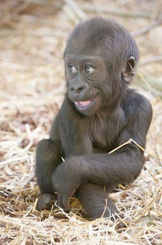 Breathtaking Kittens For Sale On Craigslist Follow Cute Baby Animals Cute Animals Baby Gorillas