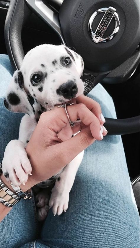 Athena the Dalmatian! Order an oil painting of your pet now at www.petsinportra… Athena the Dalmatian! Order an oil painting of your pet now at www. Cute Little Animals, Cute Funny Animals, Cute Dogs And Puppies, Doggies, Dalmatian Puppies, Puppies Puppies, Retriever Puppies, Labrador Retriever, Cute Puppy Pics