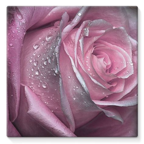 Pink Rose Canvas Lite