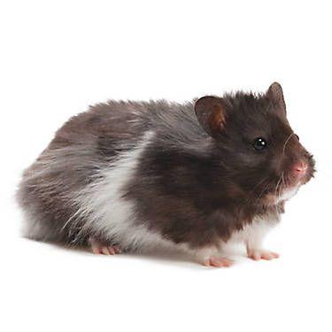 Fancy Bear Hamster | Animals | Long haired hamster, Bear