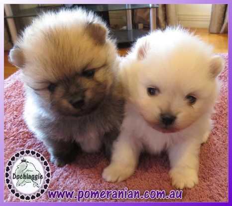 Pomeranian Puppies For Sale Melbourne Pomeranian Puppy For Sale