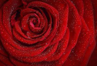 Significados Del Color Rojo El Significado Espiritual De Las Rosas Rojas Rosas Hermosas Frases De Amor Puro Flor Rosa Roja