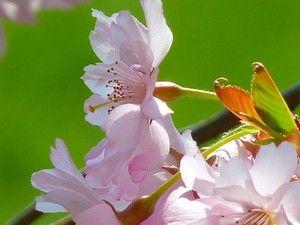 Gambar Bunga Sakura Pink Di Taman Gambar Gratis Bunga Sakura
