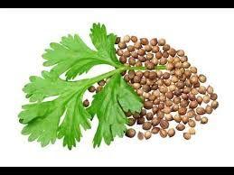الكزبرة الجافة و الكزبرة الخضراء وفوائدها Coriander Seeds Benefits Healing Herbs Seeds Benefits