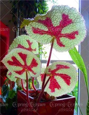 100 Teile Beutel Schone Begonie Blumensamen Blumen Topf Bbonsai Garden Courtyar Bbonsai Begonie Beutel Blumen Blu Begonia Flower Seeds Flower Pots