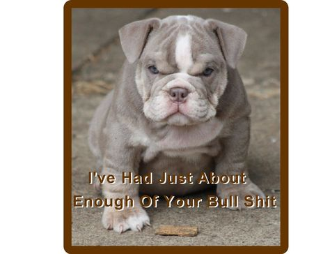 Funny English Bull  Dog Puppy Refrigerator / Tool Box Magnet