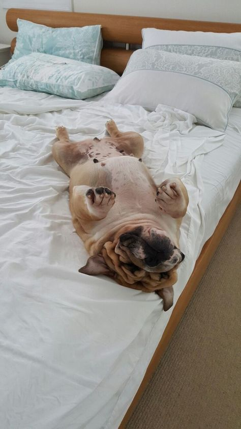 Just A Few More Minutes Bulldog Bulldog Puppies Cute Animals