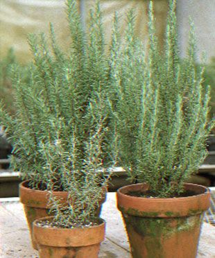 Rosemary Outdoors and In - FineGardening