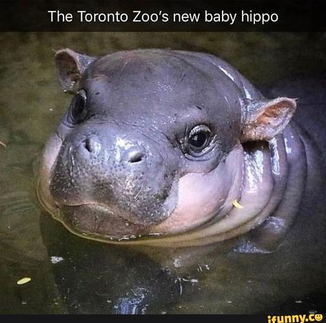 The Toronto Zoo's new baby hippo Baby Animals Super Cute, Cute Little Animals, Cute Funny Animals, Cute Dogs, Nature Animals, Animals And Pets, Wildlife Nature, Baby Hippopotamus, Baby Animal Drawings