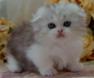 Napoleon Kittens For Sale Persian Kittens Saint Louis Munchkin Kittens Kittens Cutest Munchkin Cat Munchkin Kitten