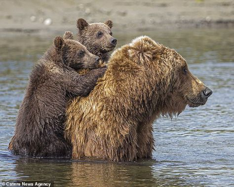 Bear cubs cling to their mother's back as she carries them safely across lake in Alaska  | Daily Mail Online