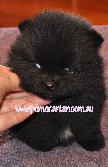 Black Pomeranian Puppy Pomeranian Puppy Puppies Black Pomeranian Puppies
