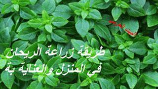 طريقة زراعة الريحان في المنزل فوائد الريحان العلاجية والغذائية Herbs Blog Posts Blog