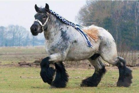 """sirartwork:""""lesbirdan:"""" swordoftheberserkgutsrage:"""" harvestheart:"""" The Ardennes Draft Horse is considered one of the oldest breeds of draft horse, and is believed to be a direct descendent of the prehistoric Solutre Horse.Via Historical..."""