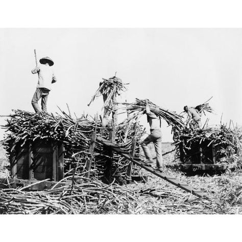 Sugar Cane Harvesting in Hawaii Photograph (6 Sizes Art Prints, Giclees, Posters, Wood & Metal Signs