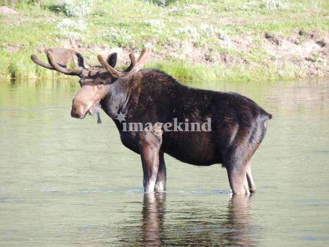 """A Moose just chillin"" by vpicks, 2012 #Adver , #ad, #Sponsored, #vpicks, #Moose, #chillin"