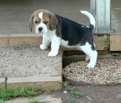 I Am Naughty But You Ll Love Me Beagle Beagle Beagle Puppy