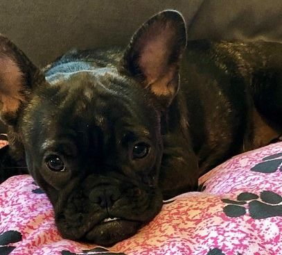 Lost Dog Rosemount French Bulldog Female Date Lost 10 02 2019 Dog S Name Moxie Breed Of Dog French Bulldog Gender Losing A Dog Dog Ages French Bulldog