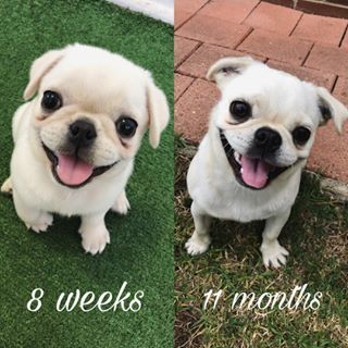 Sean The Tibby Pug Seanthetibbypug Dog Transformation Cute