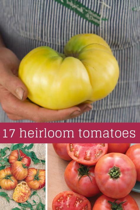 Tomato Seeds GARGAMEL 15 Seeds Vegetable Organic Rare Dark Striped-Rare