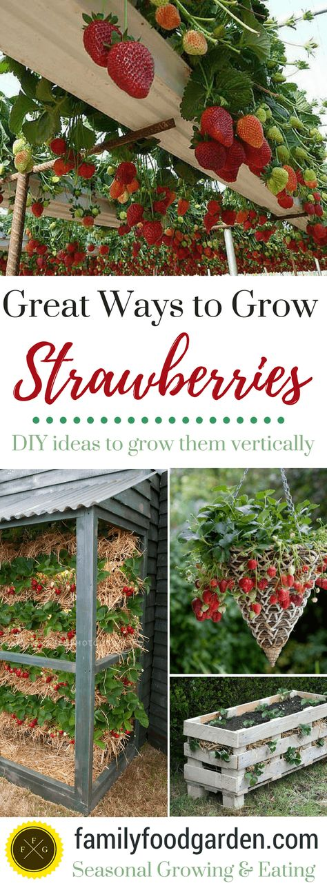 Best Ways to Grow Strawberries in Containers | Family Food Garden