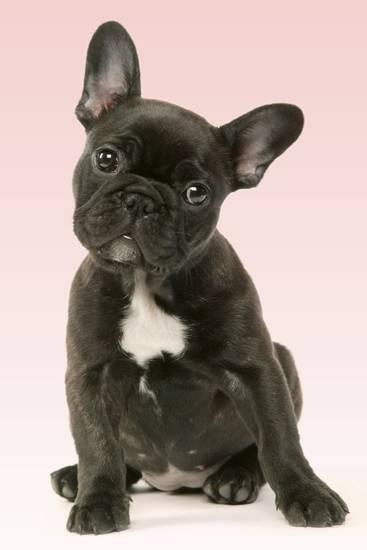 French Bulldog Puppy Photographic Print French Bulldog Puppies