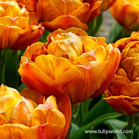 Brownie Double Late Tulips In 2020 Tulips Planting Bulbs Tulip Season