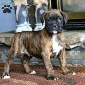 Boxer Puppies For Sale In 2020 Boxer Puppies Dog Breed Info
